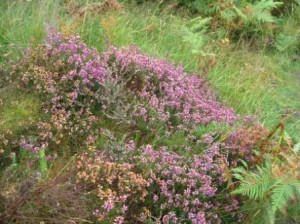 Heather in flower and gorse on Scottish hillside