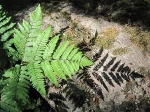 fern1 small
