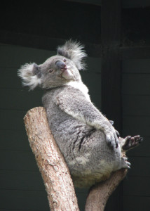 Koala lying in crook of tree and staring into space