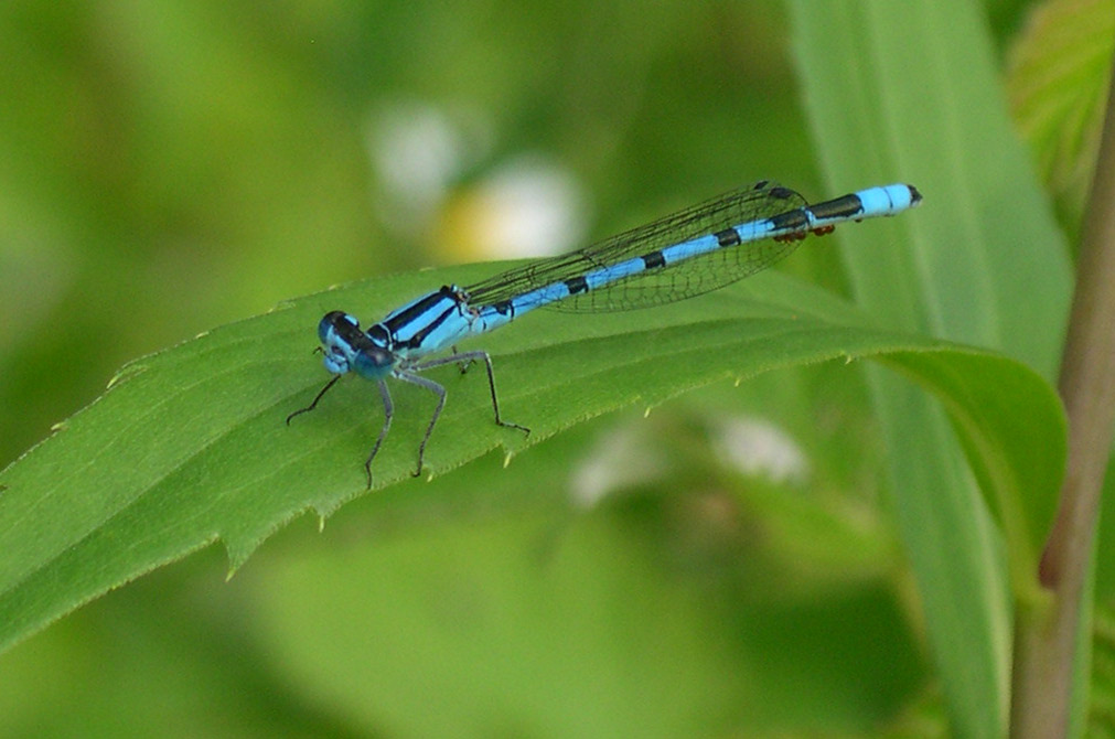 Close-up of blue and black dragonfly on elongated green leaf