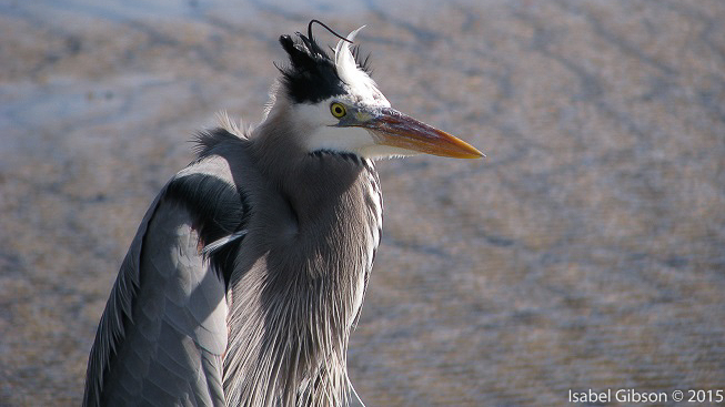 Close-up of great blue heron with head feathers disarranged by wind.