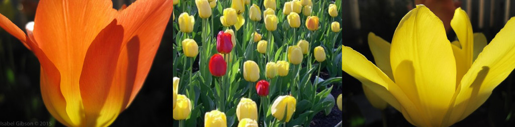 Three tulip thumbnails: orange and yellow, backlit; mix of yellow and red in large bed.