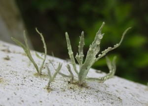Close-up of sage-green fern-like growth on white handrail.