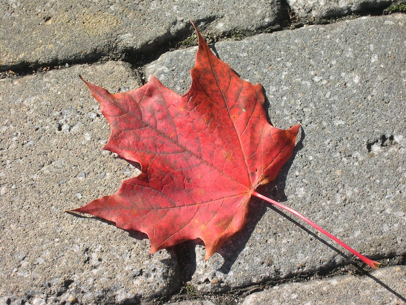 Single red sugar-maple leaf on grey paving stones