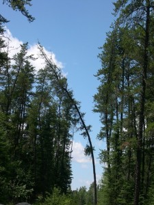 Spindly spruce along a road cut, backed by blue July sky