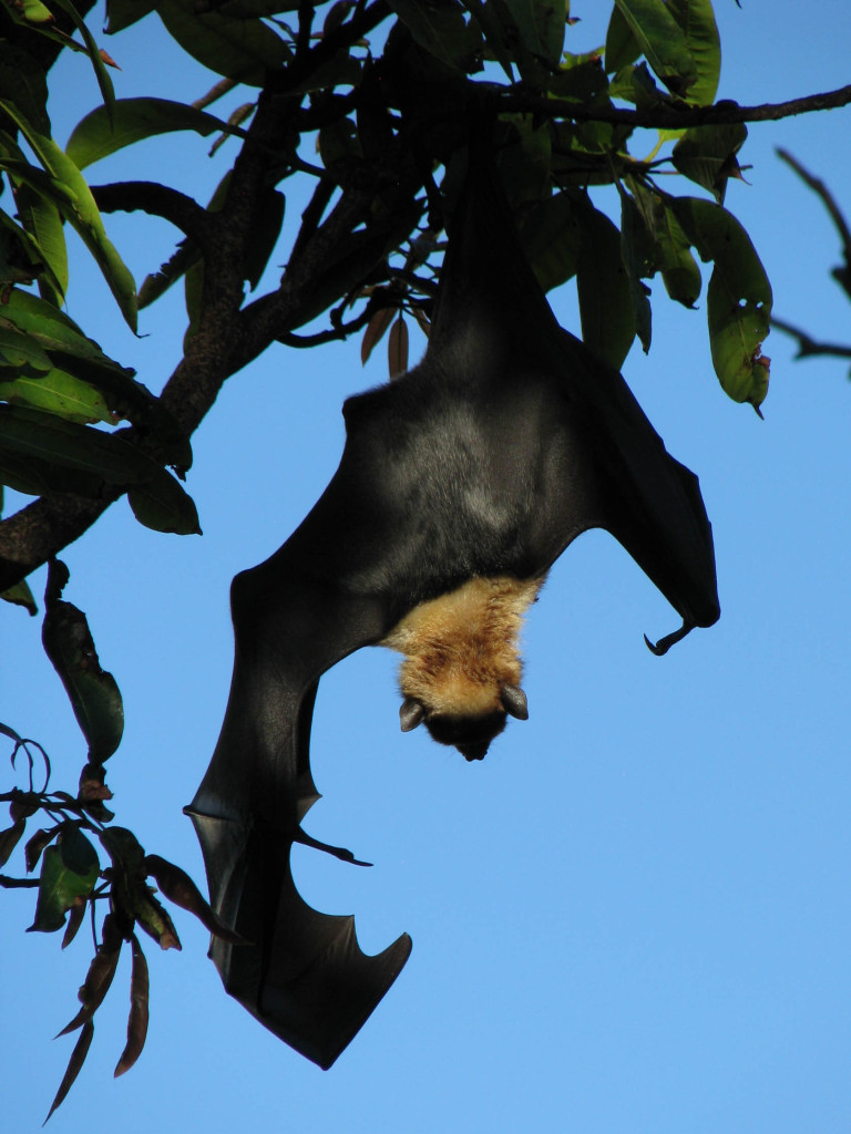 Back view of upside-down fruit bat stretching one wing above/below its head.