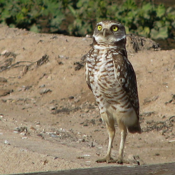 Close-up of burrowing owl standing erectly and looking intently skyward.