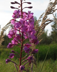 Close-up of purple Arctic fireweed blossom, flanked by stalk of grass gone to seed