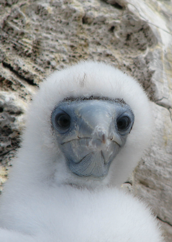 Close-up of brown booby baby looking directly at camera; all white fuzz, pale blue beak, and big eyes.