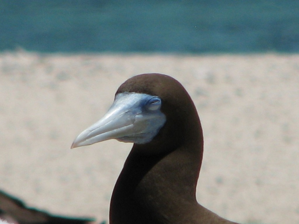 Close-up of head of brown booby whose eyes appear to be shut; background is out-of-focus band of beach and water.