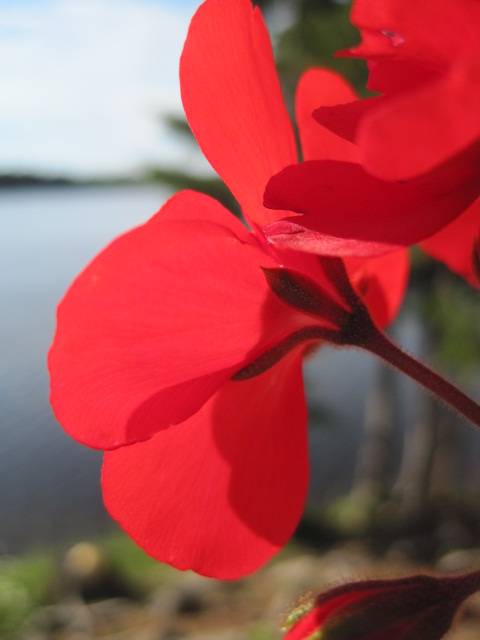 C;ose-up of 5-petalled red flower, with out-of-focus lake in background.