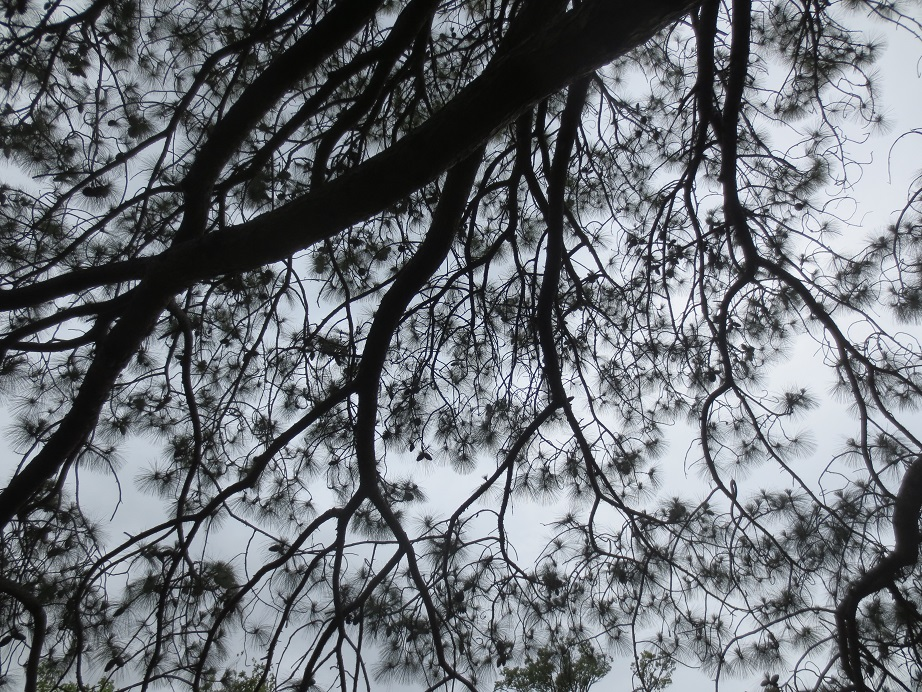 Black and white silhouette of tree branches overhead