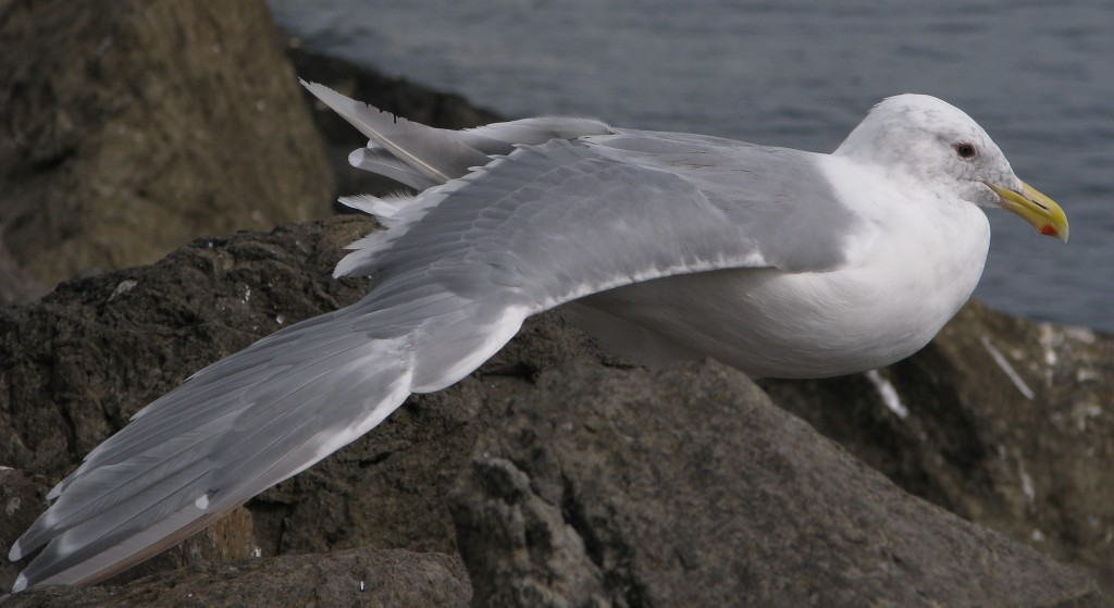 Herring gull on rocky shoreline, with right wing stretched out.