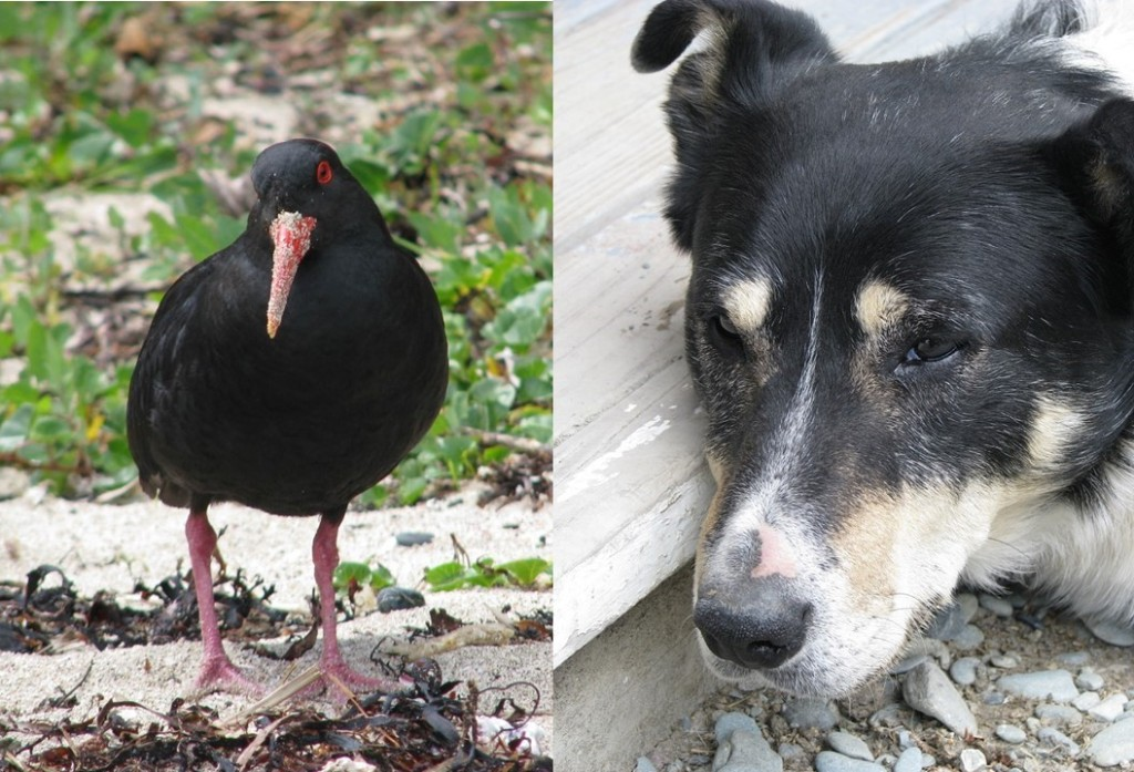 Collage of American oystercatcher and border collie, both with puzzled expressions.