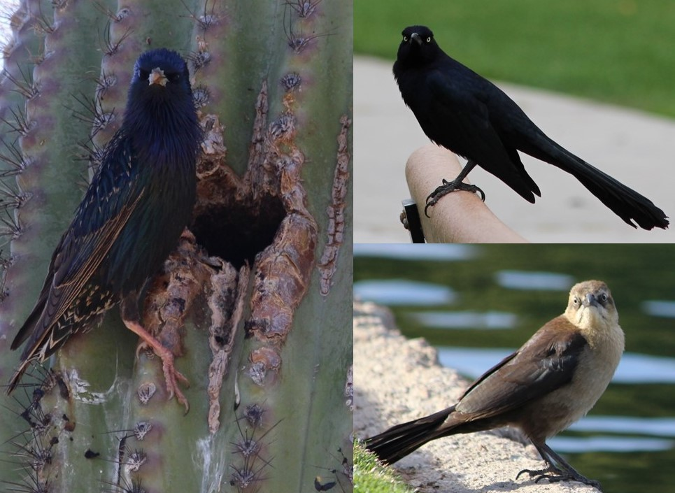 Collage of starling on saguaro cactus; and 2 great-tailed grackles