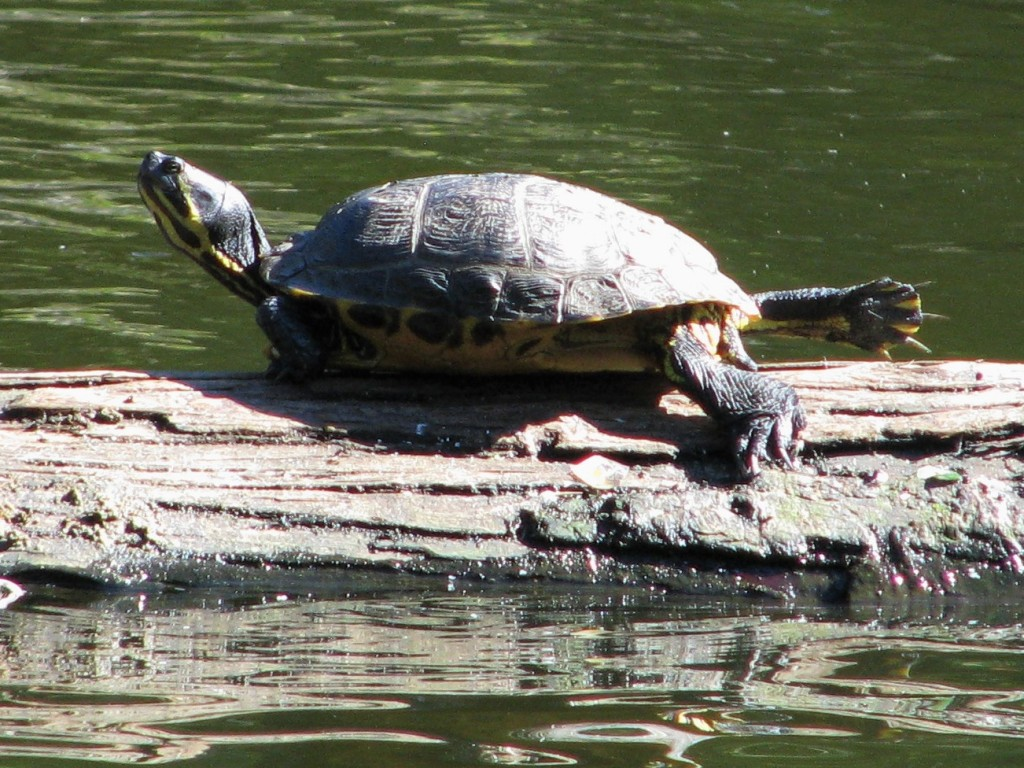 Turtle sunning itself on log, head up and right leg stretched out behind it.