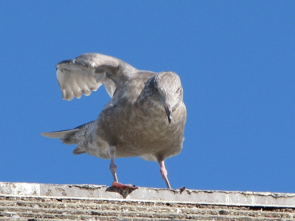Gull on rooftop, stretching right wing back and up.
