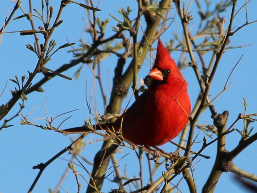 Bright red male Northern Cardinal in bare tree.
