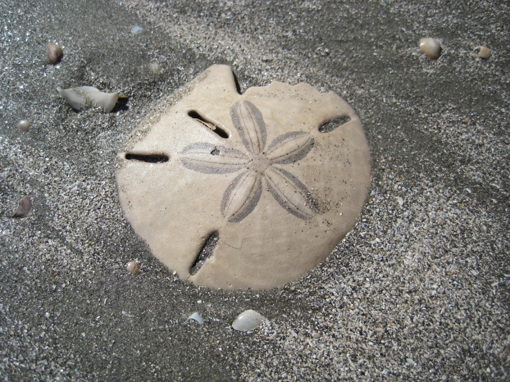 Close-up of irregular sand dollar on beach.
