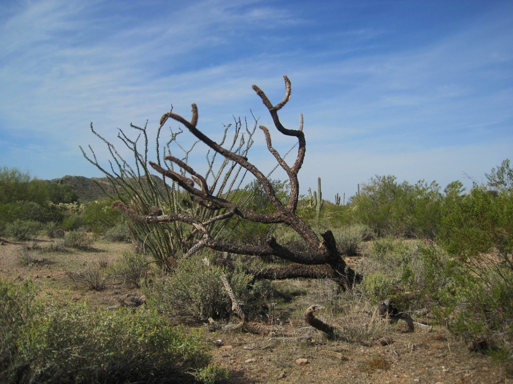 Ocotillo cactus in leaf, creosote bushes, and dead cactus.