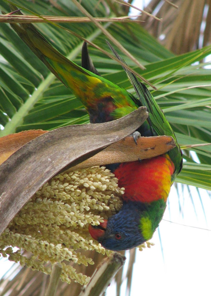 Upside-down rainbow lorakeet in a palm tree, eating seeds.