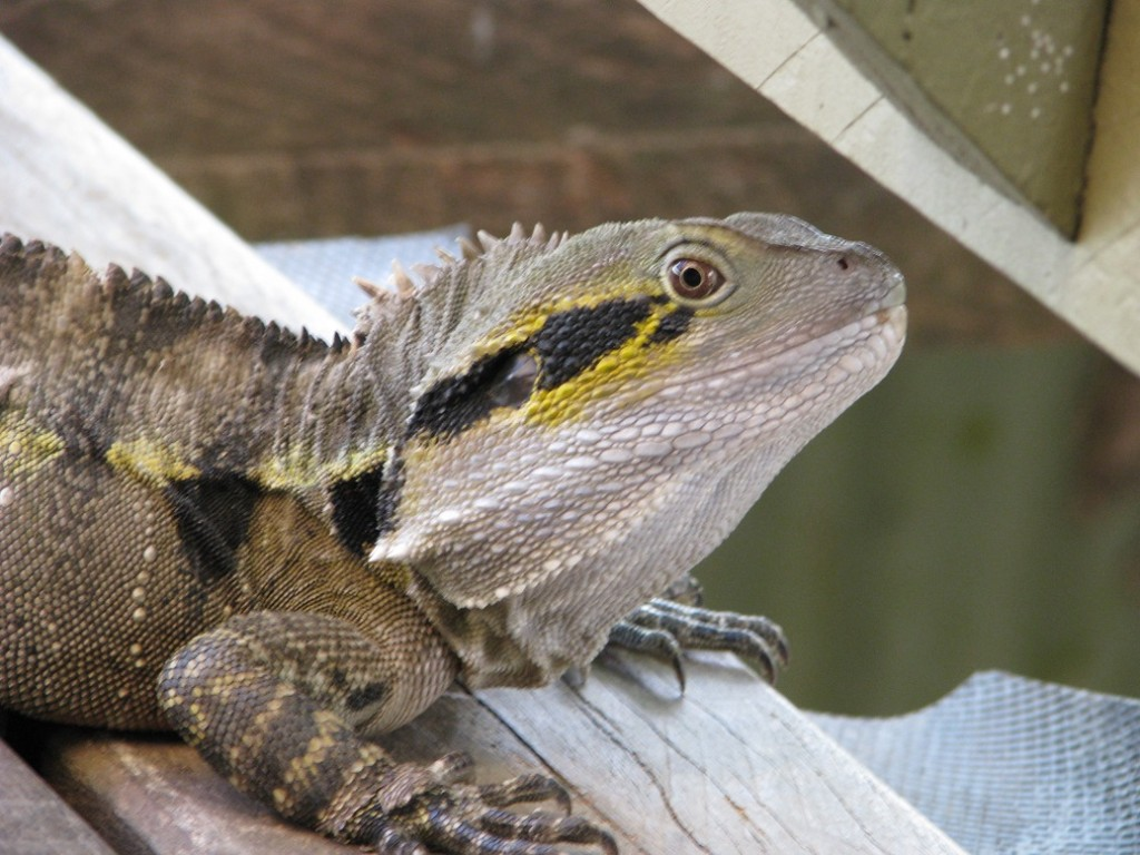 Close-up of water dragon on wooden deck.