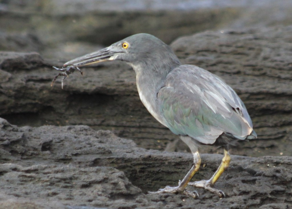 Galapagos heron with baby Sally Lightfoot Crab in beak.