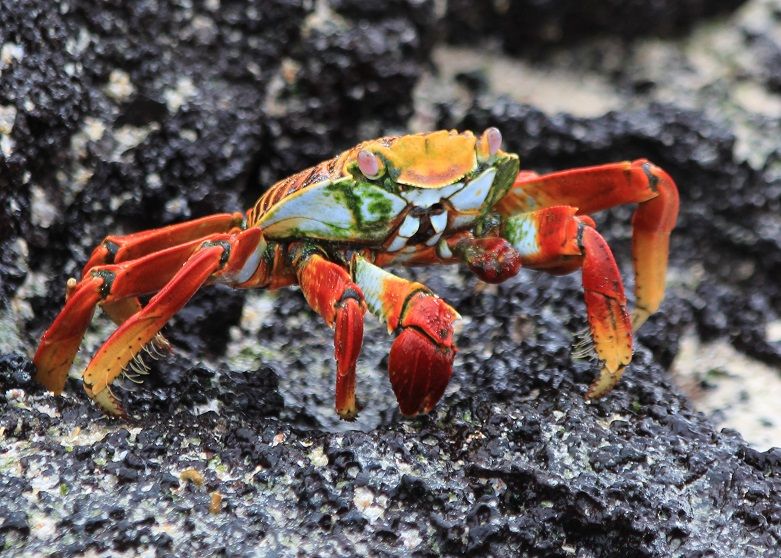 Close-up of a Sally Lightfoot crab on black lava, in the Galapagos.