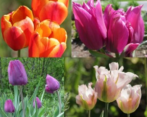 Montage of four types of tulips (orange/red stripe, hot pink, purple, and soft pink) from community garden.