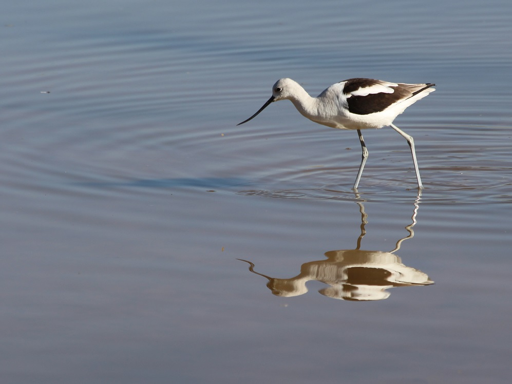 Female avocet and reflection in calm water.