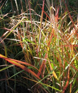 Tall grasses with jumbled mix of tan fronds and green, red, and tan leaves, in early morning October sunshine.
