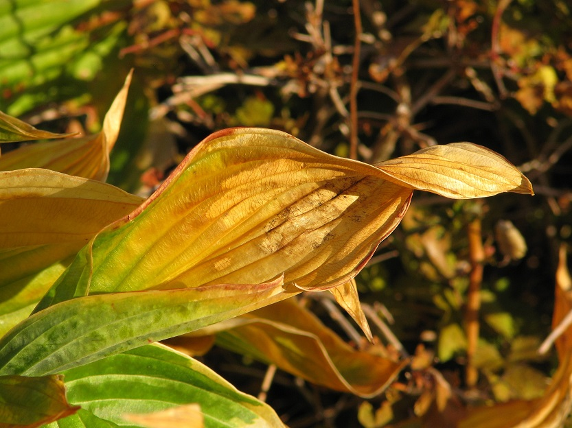 Close-up of browning and dying hosta leaf.