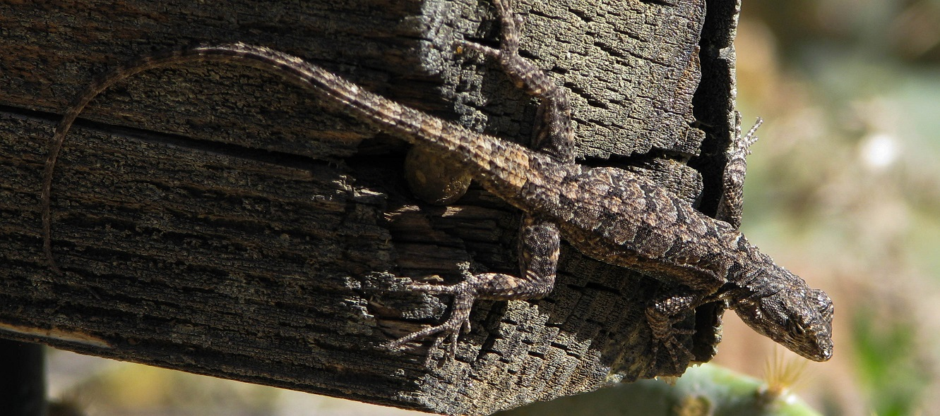 Brown and grey lizard camouflaged against weathered wood.