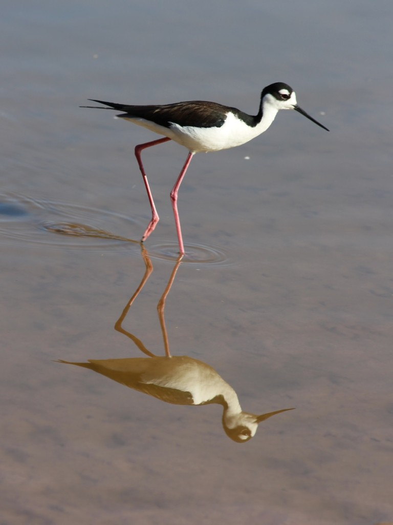 Black-necked stilt reflected in shallow, still water.