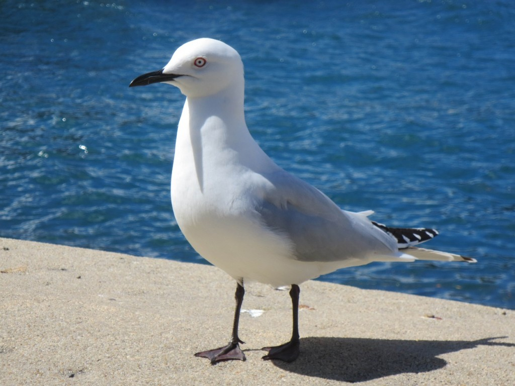 Black-billed gull on lakeside walk in Queenstown, NZ.