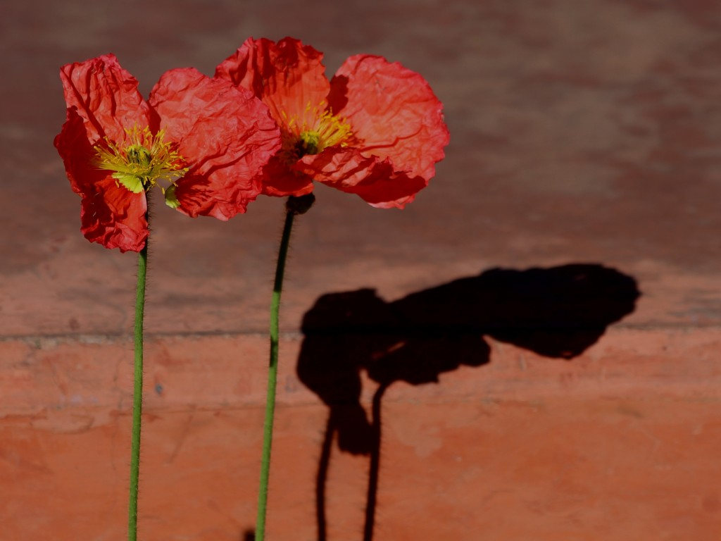 Two dried red poppies with their shadow.