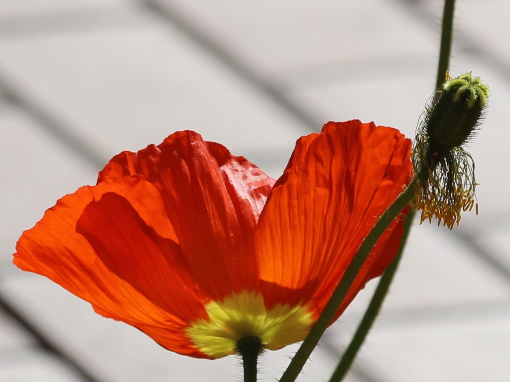 Red poppy in full bloom and seed case