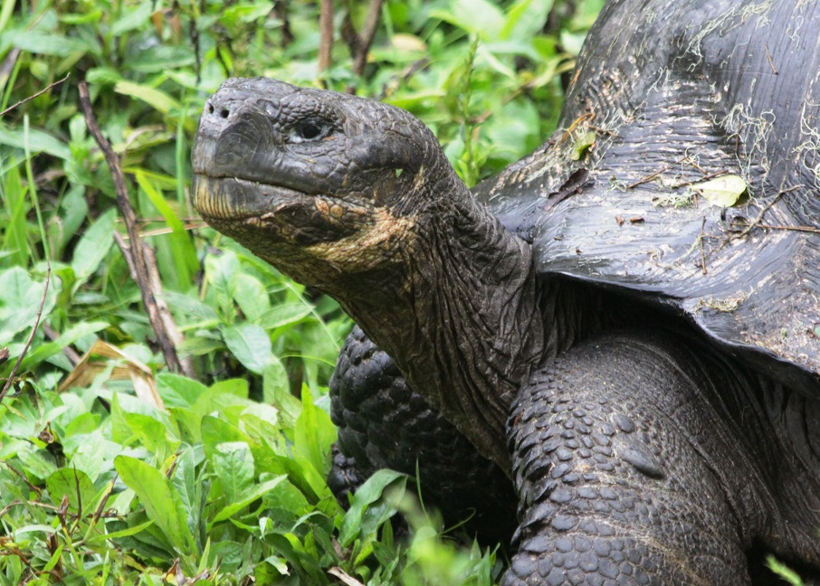 Head shot of giant land tortoise in Galapagos.