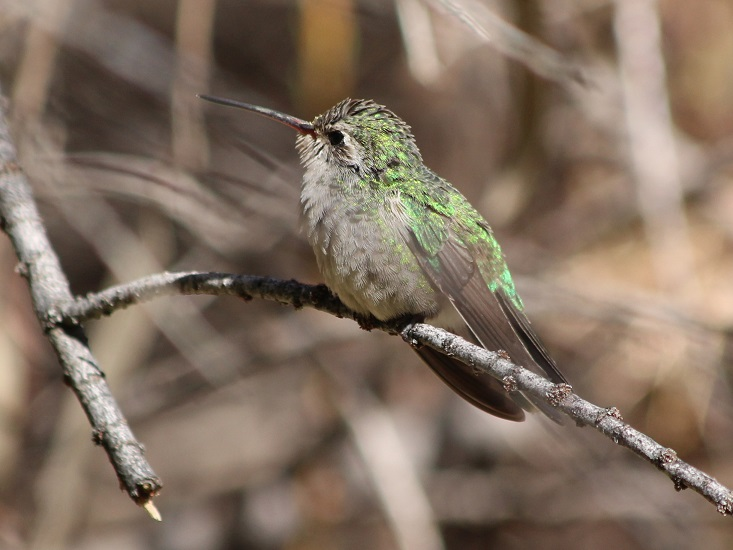 Close-up of hummingbird on branch.