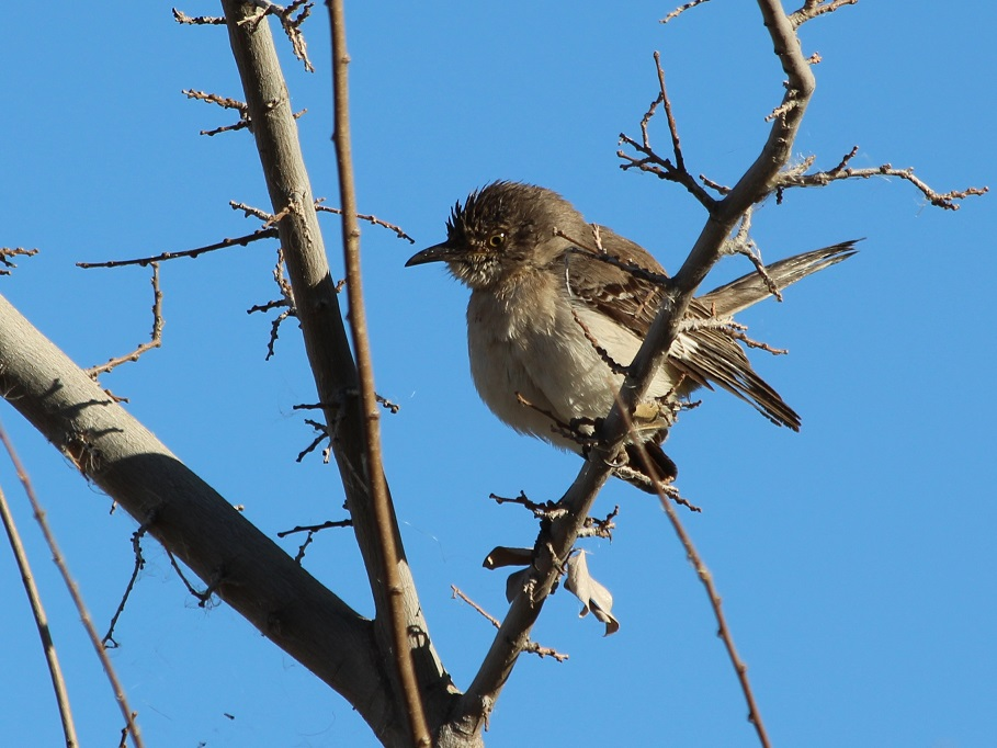 Fluffed-up black phoebe on bare tree branches.