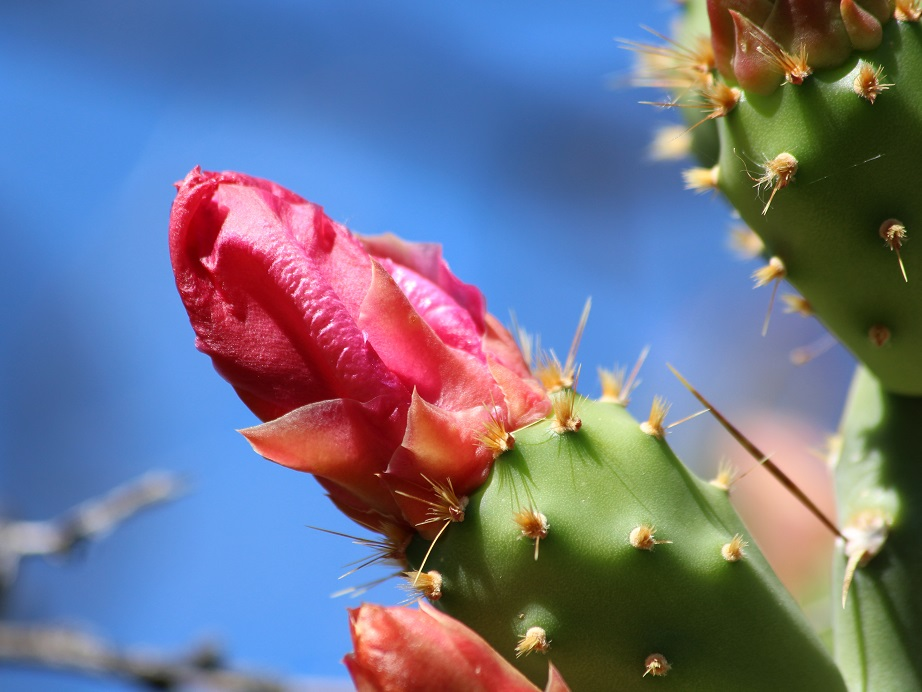 Close-up of curled-up, red cactus flower.