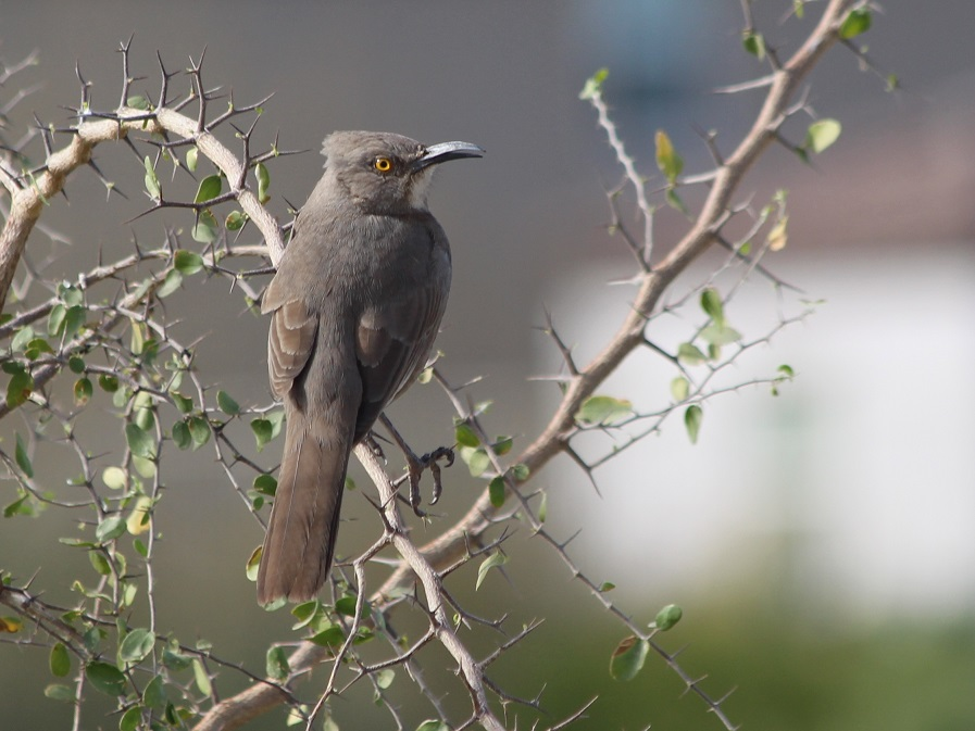 Back view of curve billed thrasher with head turned; perched on spiky jojoba branches.