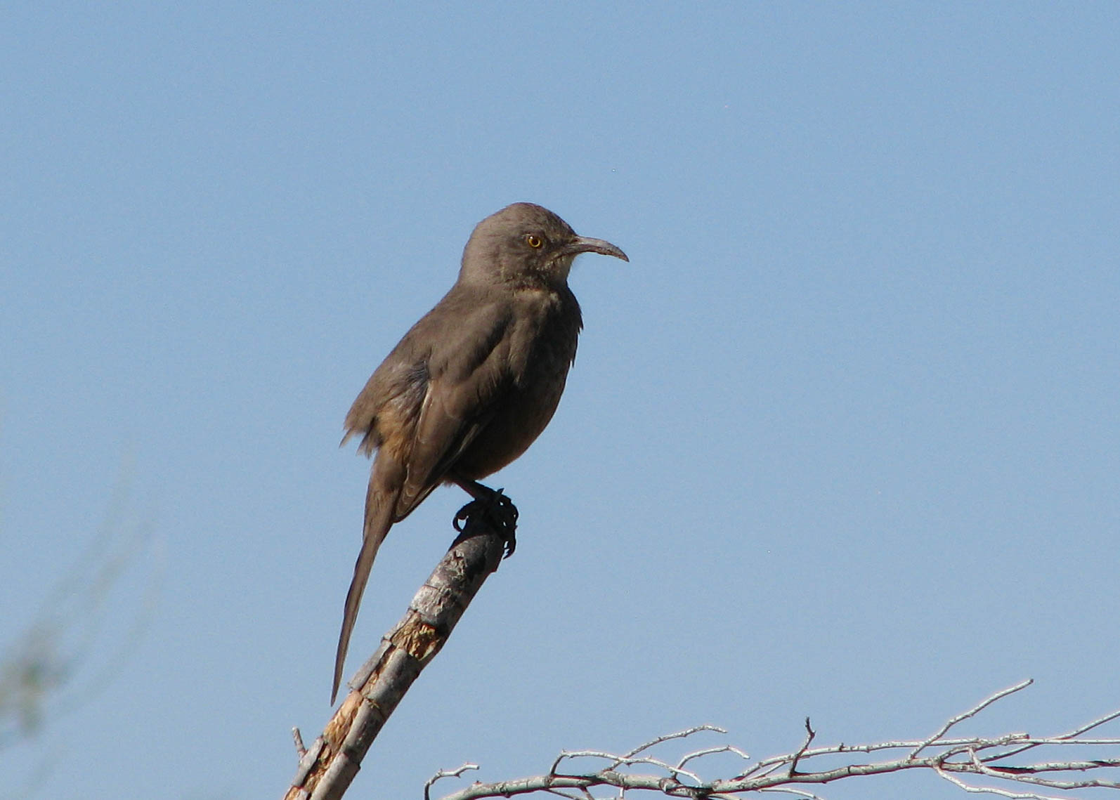 Curve-billed thrasher on bare branch sticking up; blue sky in background.