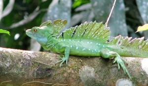Bright green lizard with crest on head and back, on a tree branch.