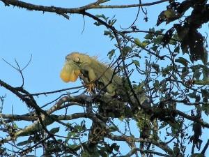 CR iguana