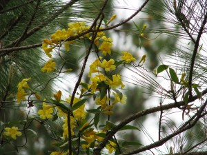 Yellow flowering vine in close-up with pine trees.