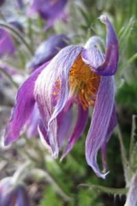 Close-up of wizened purple crocus.
