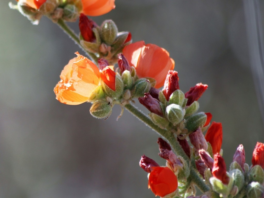 Close-up of orange globemallow flowers.