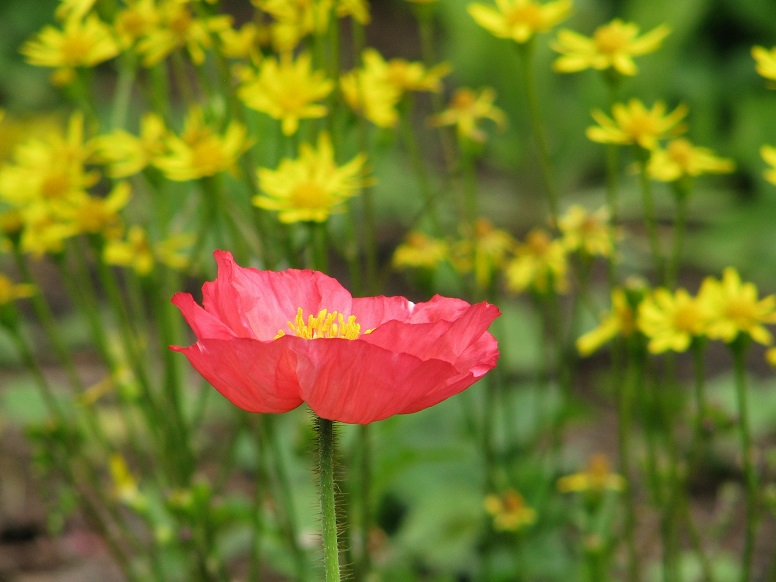 Red poppy in foreground, bed of yellow daisies in background.