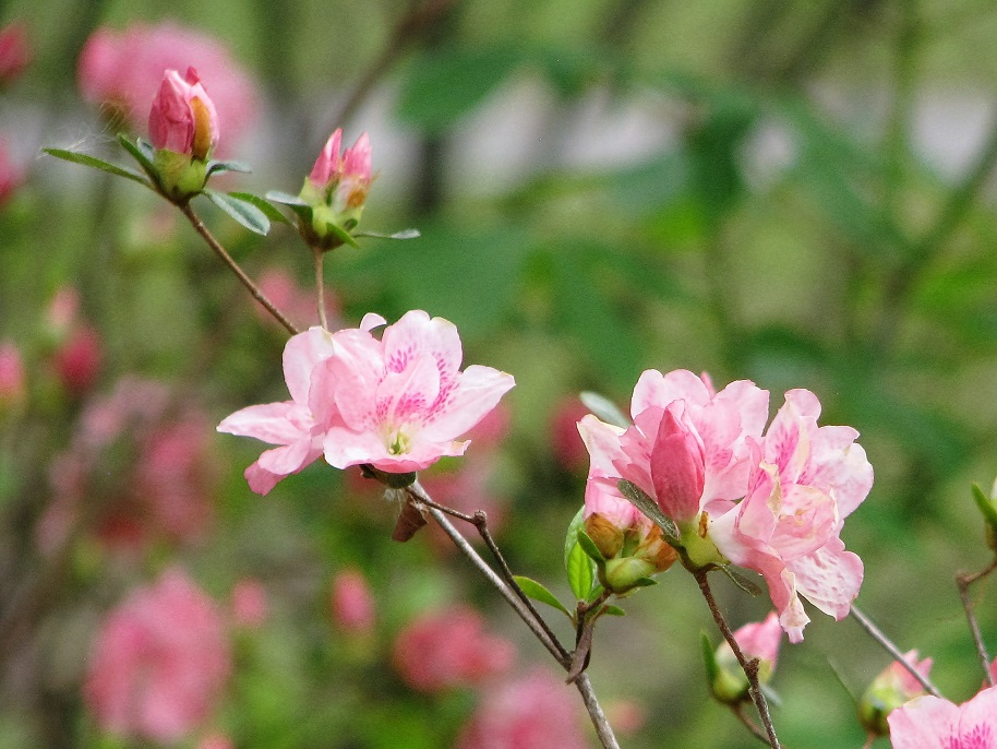 Branch of pink rhododendron blossoms.